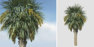 Sabal Palmetto: Field 2