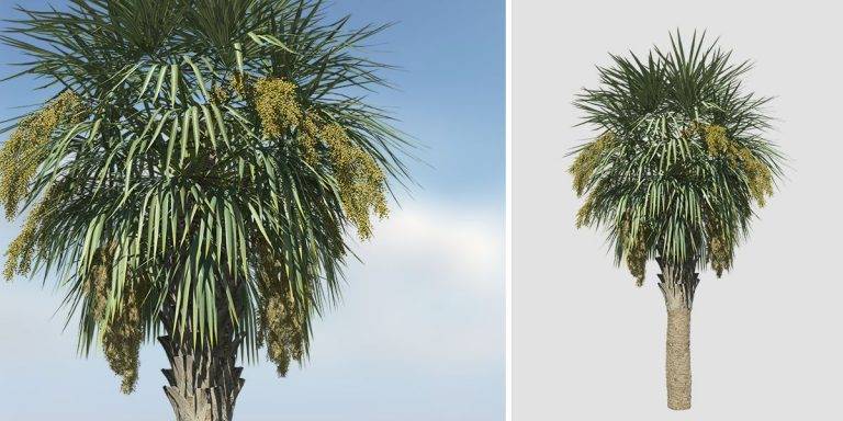 Sabal Palmetto: Field 2