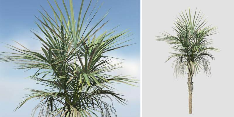 Sabal Palmetto Sapling