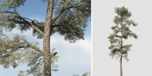 Eastern White Pine: Field