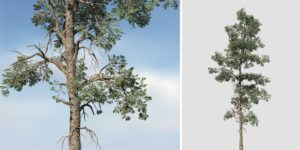 Eastern White Pine: Forest