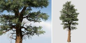Redwood: Field (Split Trunk)
