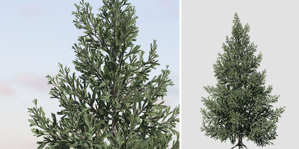 norway spruce field symmetrical