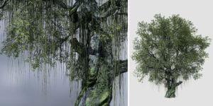 Twisted Swamp Beech: Field