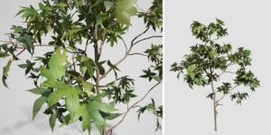 Sweetgum Seedling