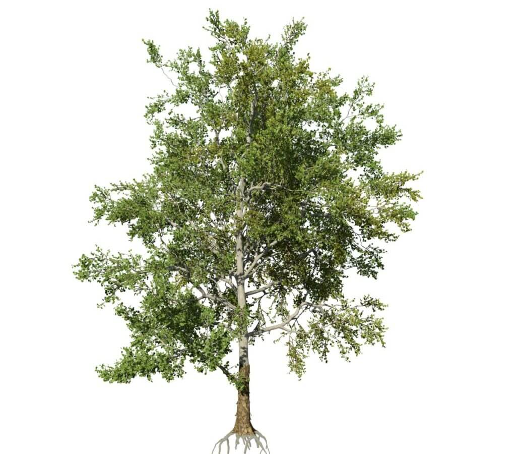 American Sycamore: Field ( Brown Shell)