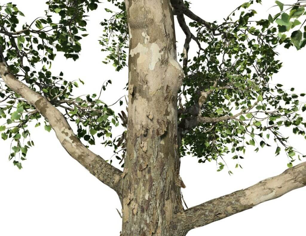 American Sycamore: Forest (Single Trunk)