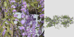 Wisteria Vine: Ground Creeper