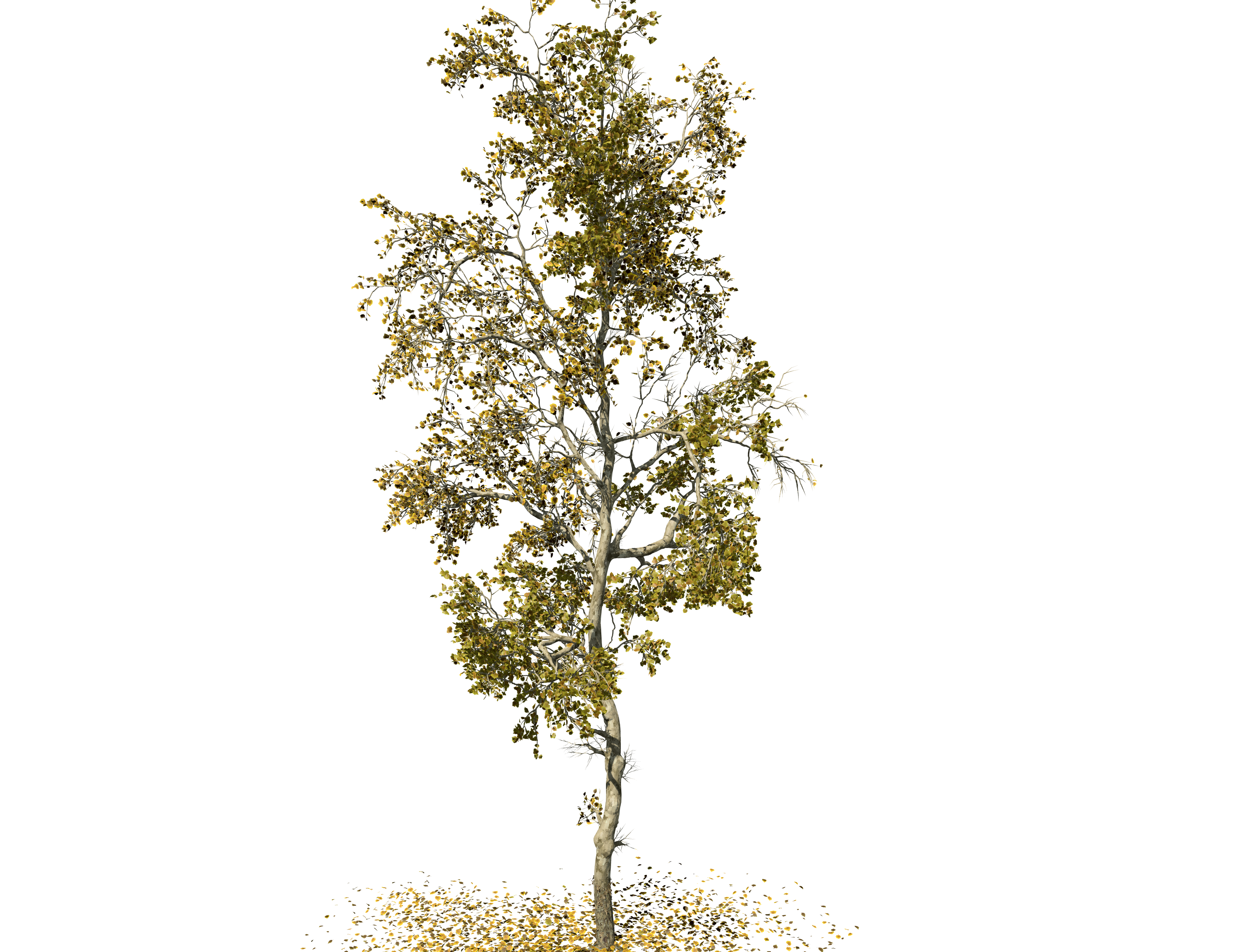 American Sycamore: Forest (Slender)