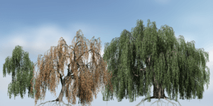 Weeping Beech Species Pack