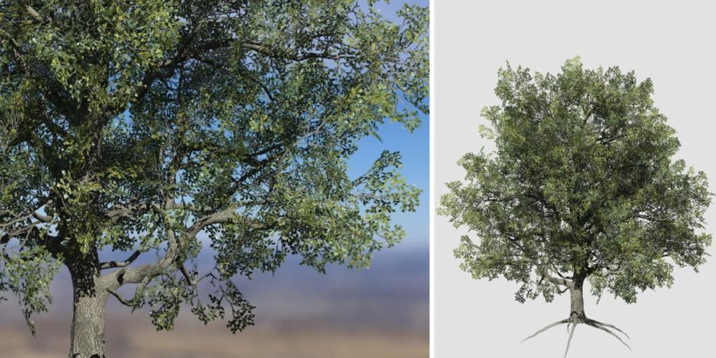 White Oak: Hero Field (Thin Trunk)